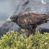Galapagos Hawk (1)