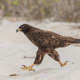Galapagos Hawk (3)