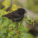 Small Ground Finch (1)
