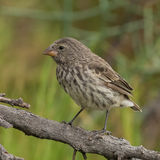 Small Ground Finch (2)