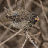 Medium Ground Finch (2)