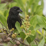 Medium Ground Finch (3)