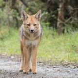 Culpeo or Andean Fox (1)