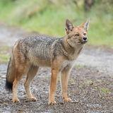 Culpeo or Andean Fox (2)