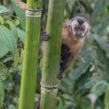 Tufted Capuchin (2)