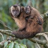 Tufted Capuchin (3)