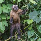 Tufted Capuchin (4)