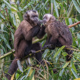 Tufted Capuchin (5)