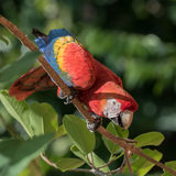 Scarlet Macaw (4)