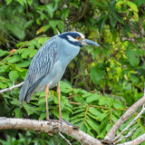 Yellow-crowned Night-Heron (1)