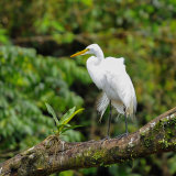 Great White Egret (1)
