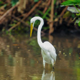 Great White Egret (2)