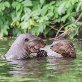 Giant River Otter (3)