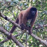 Peruvian Woolly Monkey (1)