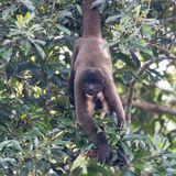 Peruvian Woolly Monkey (2)