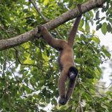 Peruvian Woolly Monkey (3)