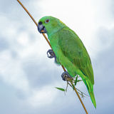 Yellow-naped Amazon (2)