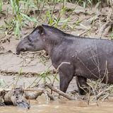 South American Tapir (2)