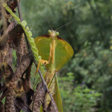 Peruvian Shield Mantis (1)