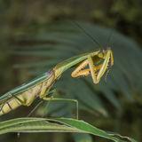 Peruvian Shield Mantis (2)