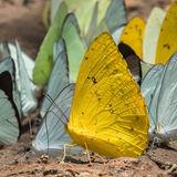 Riverside 'puddling' butterflies