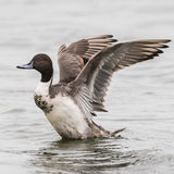 Northern Pintail (3)