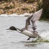 Northern Pintail (4)