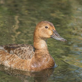 Common Pochard (4)