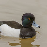 Tufted Duck (5)