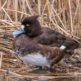 Tufted Duck (7)
