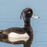 Tufted Duck (8)