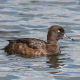 Tufted Duck (10)