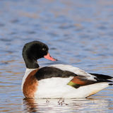 Common Shelduck (1)