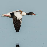 Common Shelduck (3)