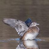 Wood Duck (3)
