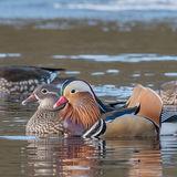 Mandarin Duck (3)