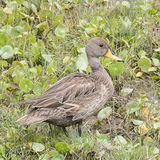 Yellow-billed Teal (1)