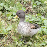 Yellow-billed Teal (2)