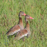 Black-bellied Whistling Duck (1)