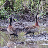White-faced Whistling-Duck (3)