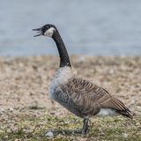 Canada Goose (4)