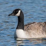 Canada Goose (6)