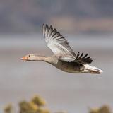 Greylag Goose (2)