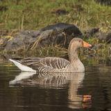 Greylag Goose (3)