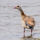 Egyptian Goose (1)