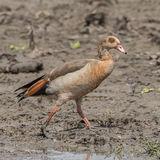 Egyptian Goose (4)
