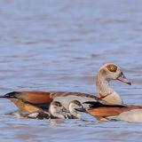 Egyptian Goose (3)