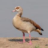 Egyptian Goose (5)