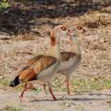 Egyptian Goose (2)