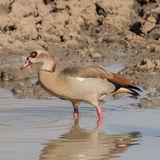 Egyptian Goose (6)